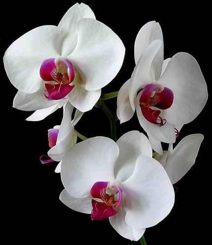 orchid_image_doritaenopsis_dtps_lih_jiang_beauty_x_p_luchia_lip.jpg